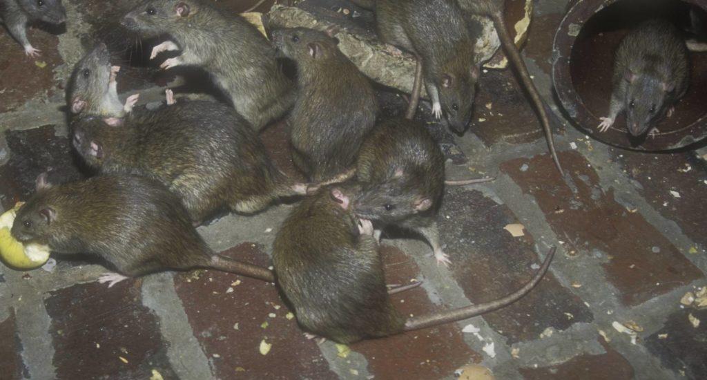 уничтожение крыс в Тихорецке